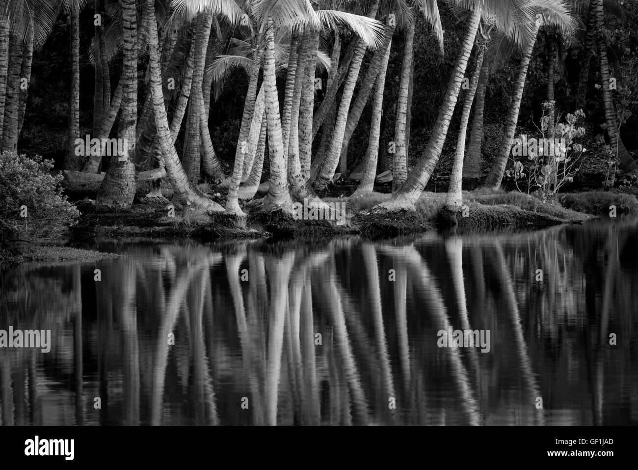 Palm arbres se reflétant dans l'eau d'Lahuipua Kaaiopio et un des étangs. Hawaii Island Photo Stock
