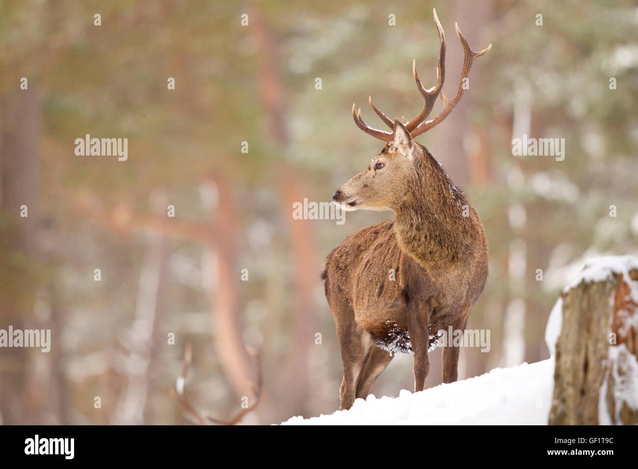 Red Deer dans la neige hiver Photo Stock