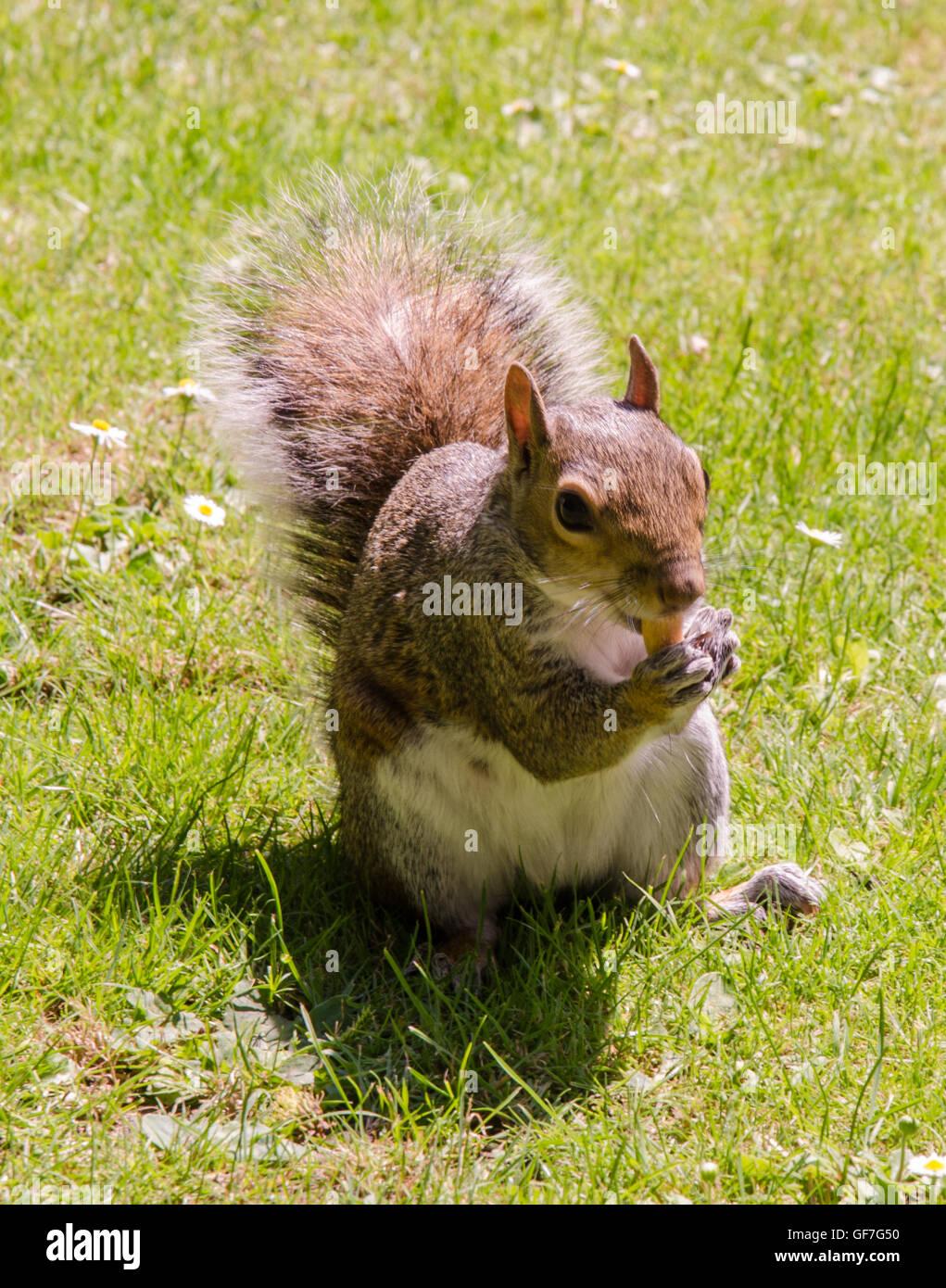 Apprivoiser un écureuil gris. Photo Stock