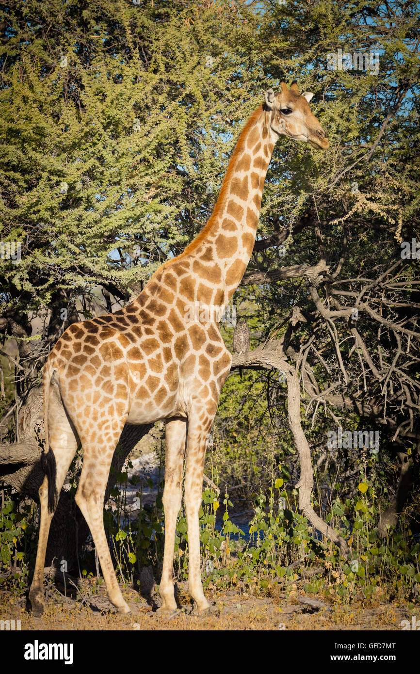 Girafe dans le parc national d'Etosha en Namibie, Afrique Photo Stock