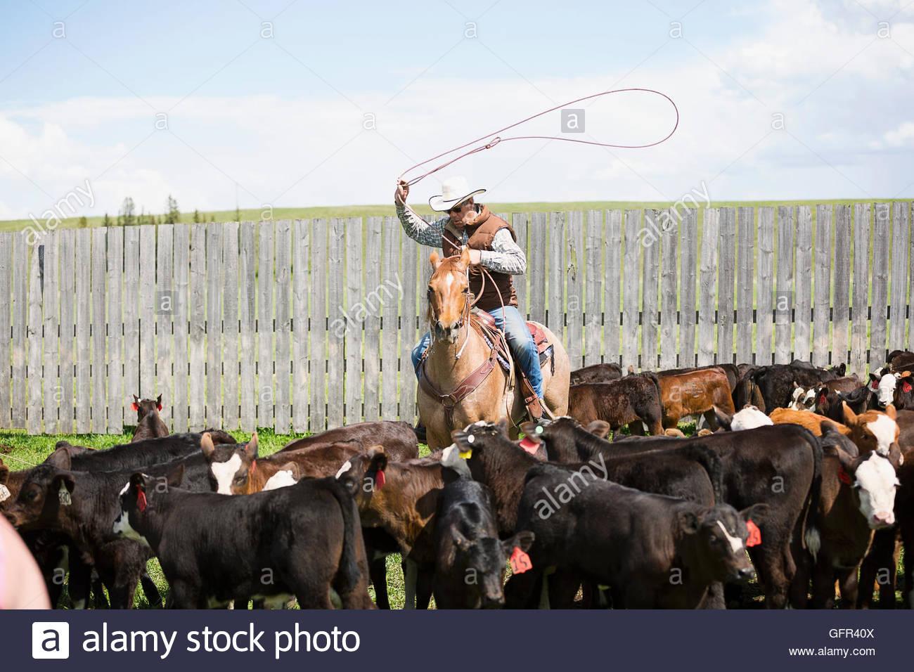 Éleveur de bétail à cheval lasso vaches Photo Stock