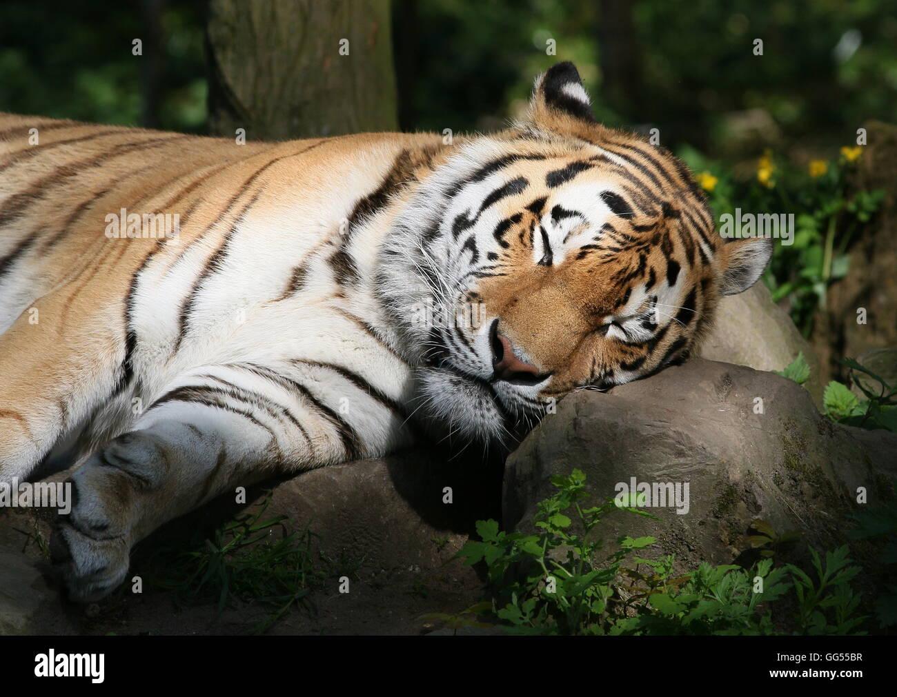 Ou Sibérie Amur tiger (Panthera tigris altaica) prendre une sieste au soleil Photo Stock