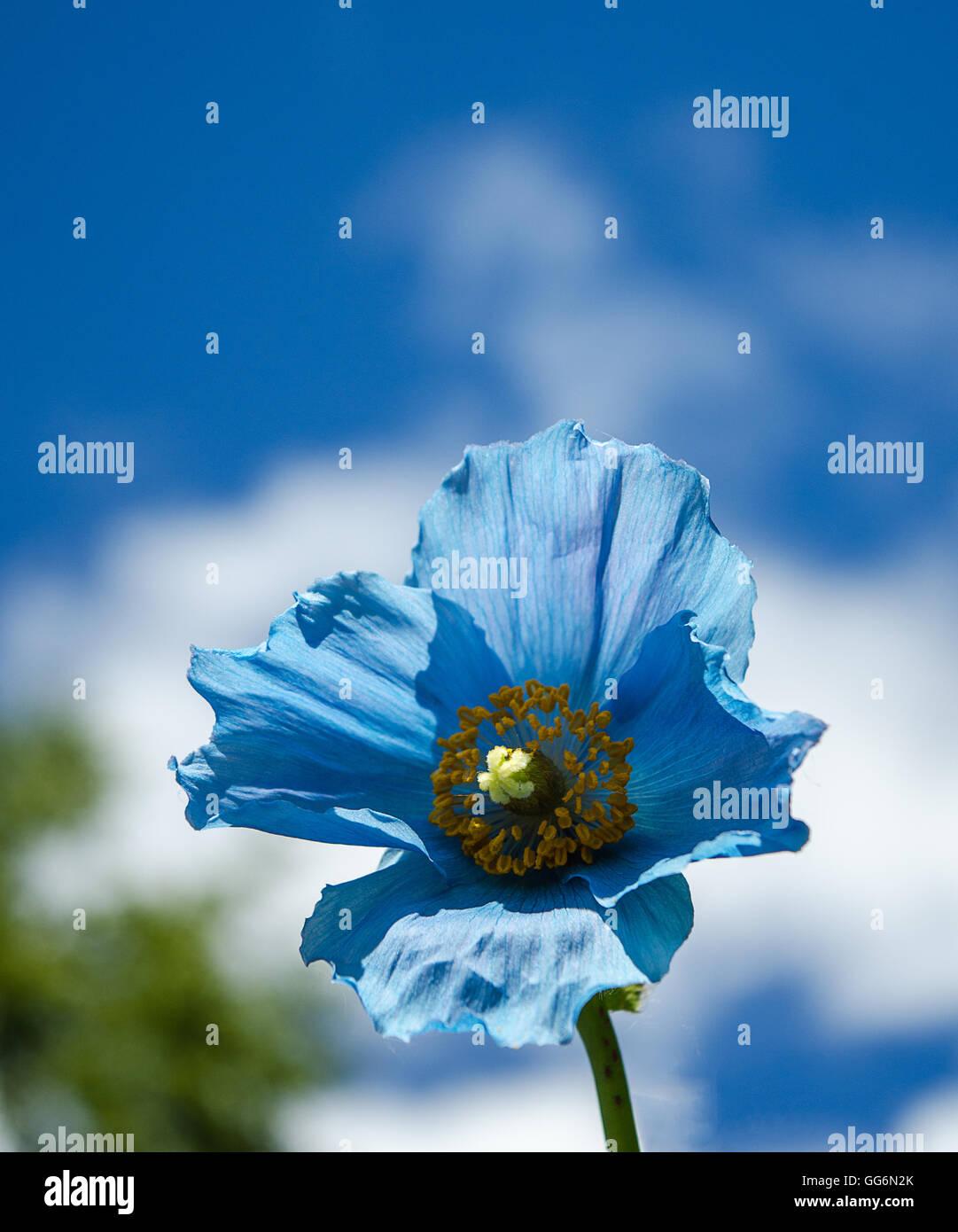 Le Rare Et Magnifique Pavot Bleu De L Himalaya En Fleur Contre Un