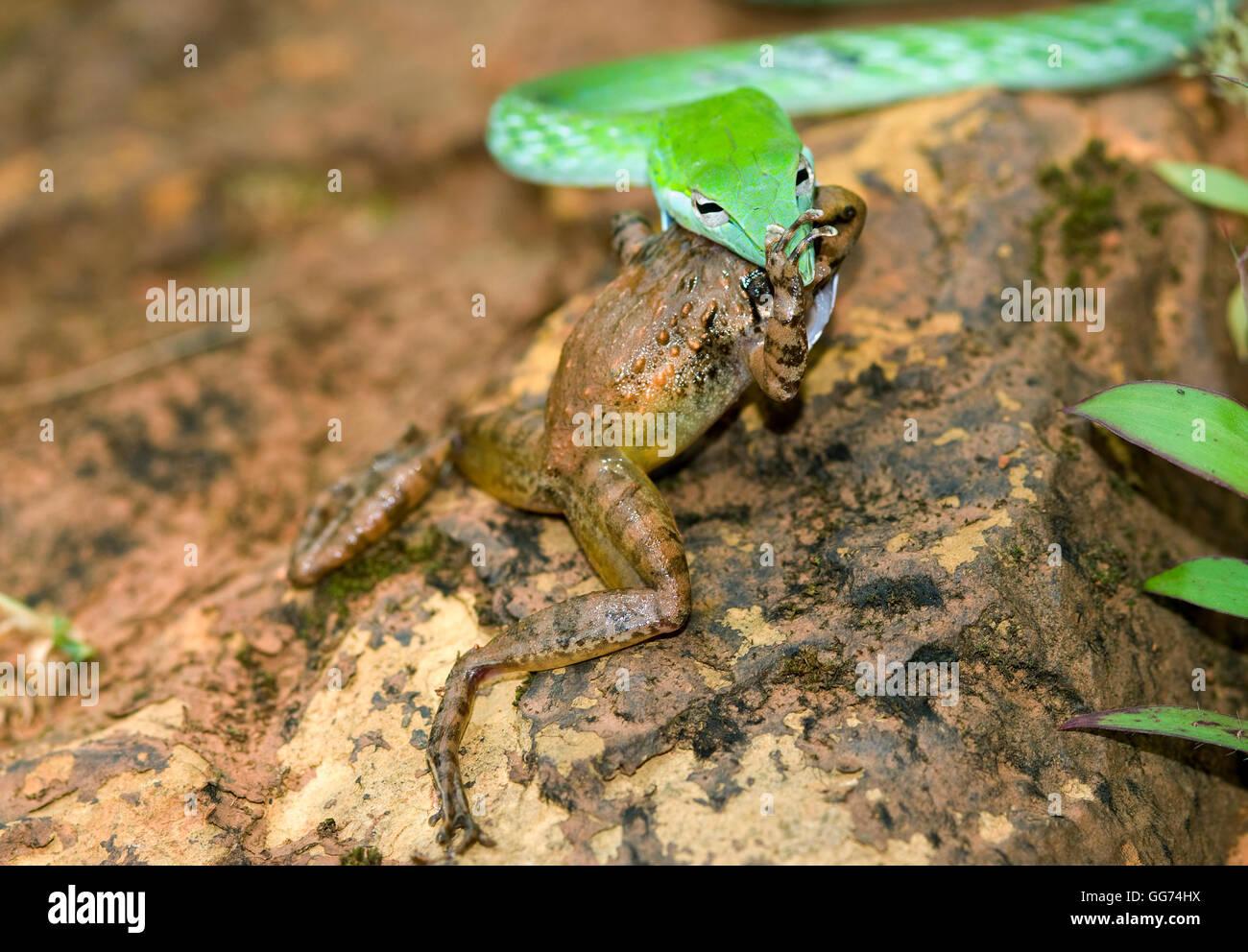 L'image de vert serpent( Hierophis viridiflavus Whip) avec Kill frog à matheran, Mumbai, Inde Photo Stock