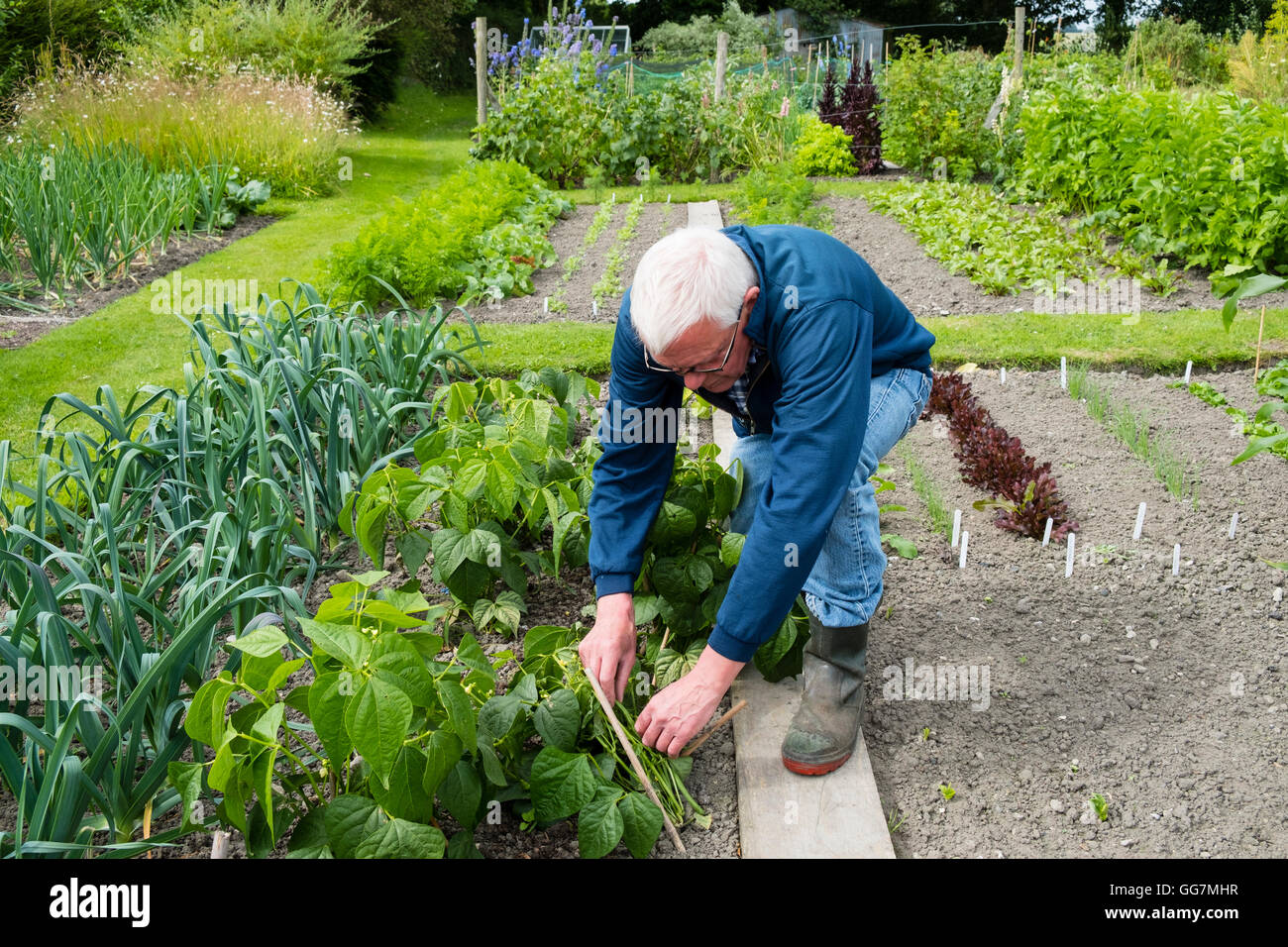 L'homme ayant tendance à potager dans son jardin d'attribution en Angleterre Royaume-Uni Photo Stock