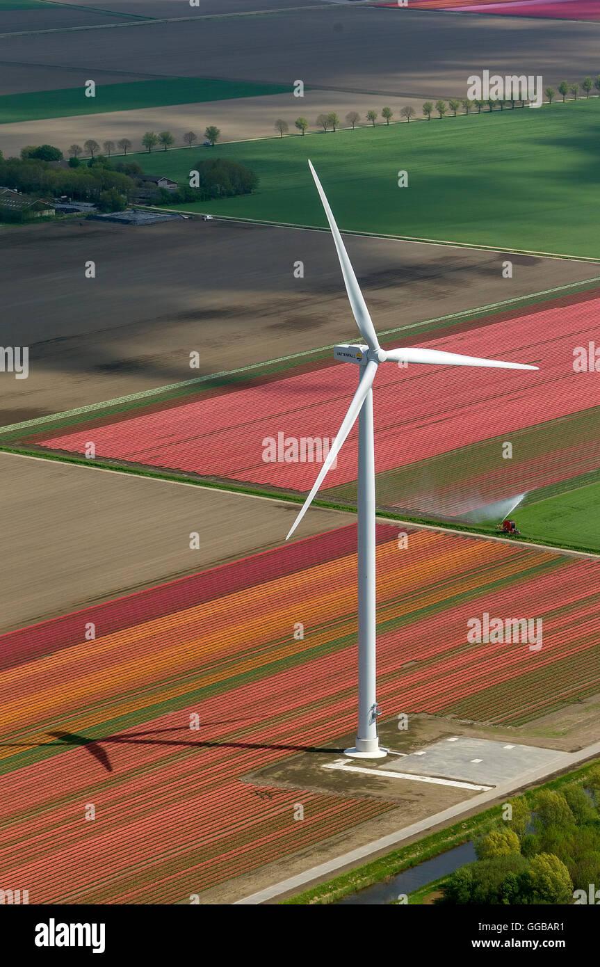 Vue aérienne, éolienne, énergie éolienne, champs de tulipes, de l'agriculture, les champs Photo Stock