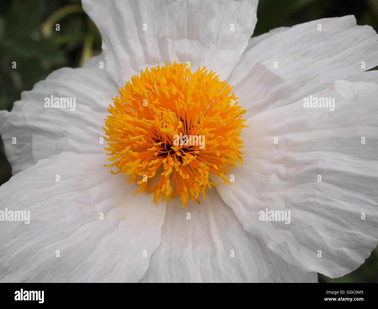 Fleur blanche avec des pétales froissés et un grand centre jaune Photo Stock