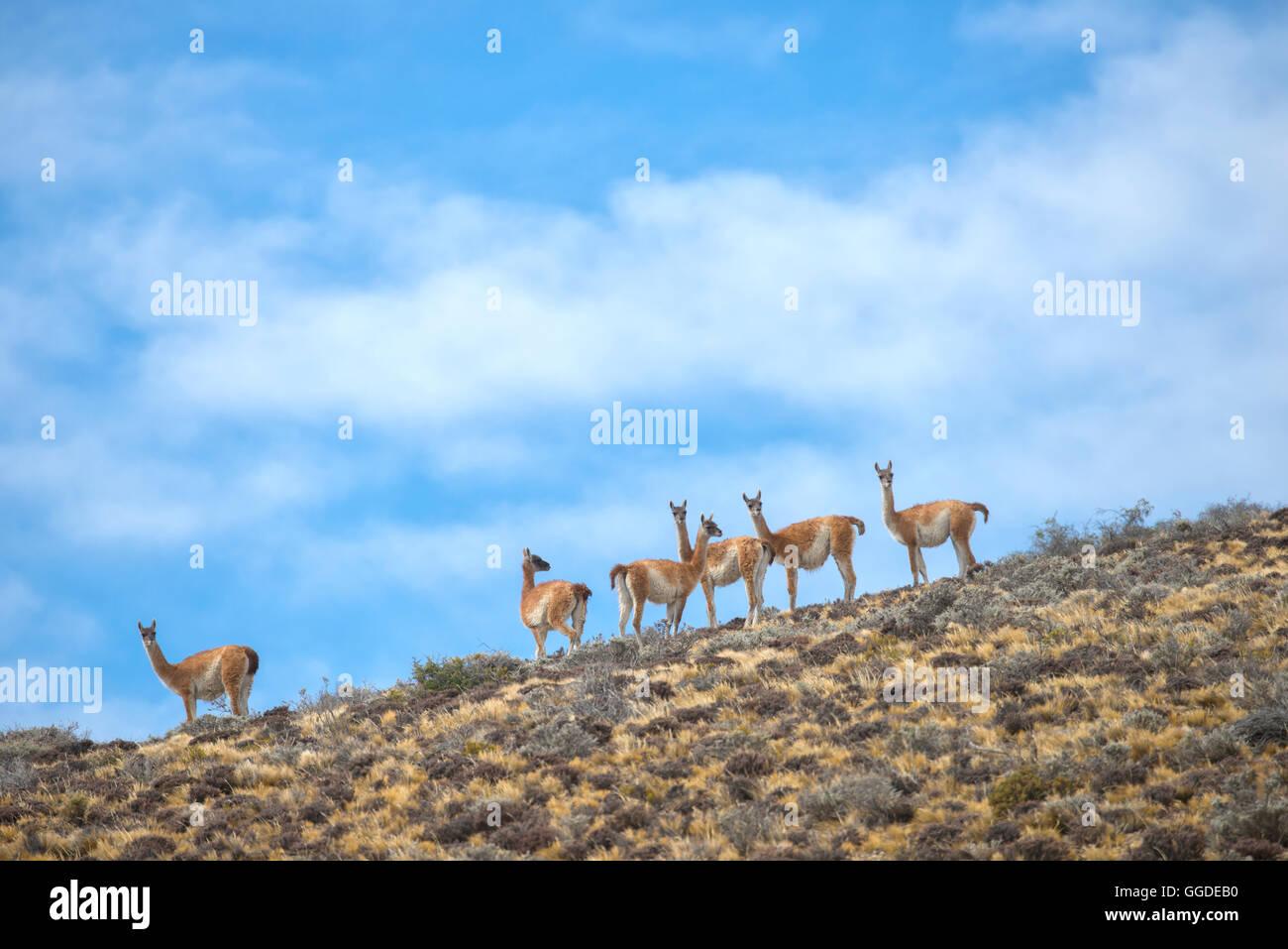 L'Amérique du Sud, Argentine, Patagonie, Santa Cruz, Cueva de los Manos, troupeau de Guanacos, Lama guanicoe Banque D'Images