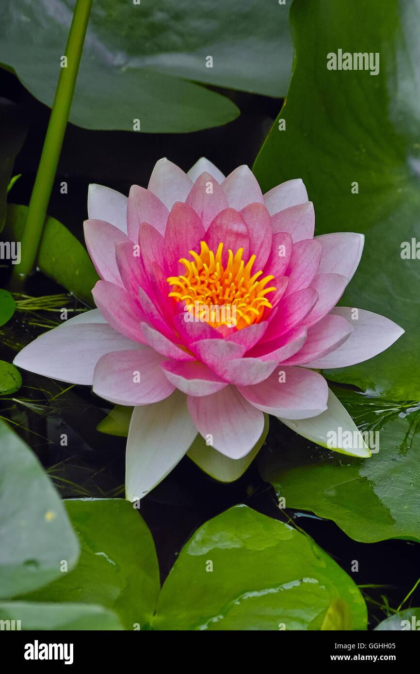 l'eau de rose-lily, nénuphar (nymphaea), plantes de bassin aquatique