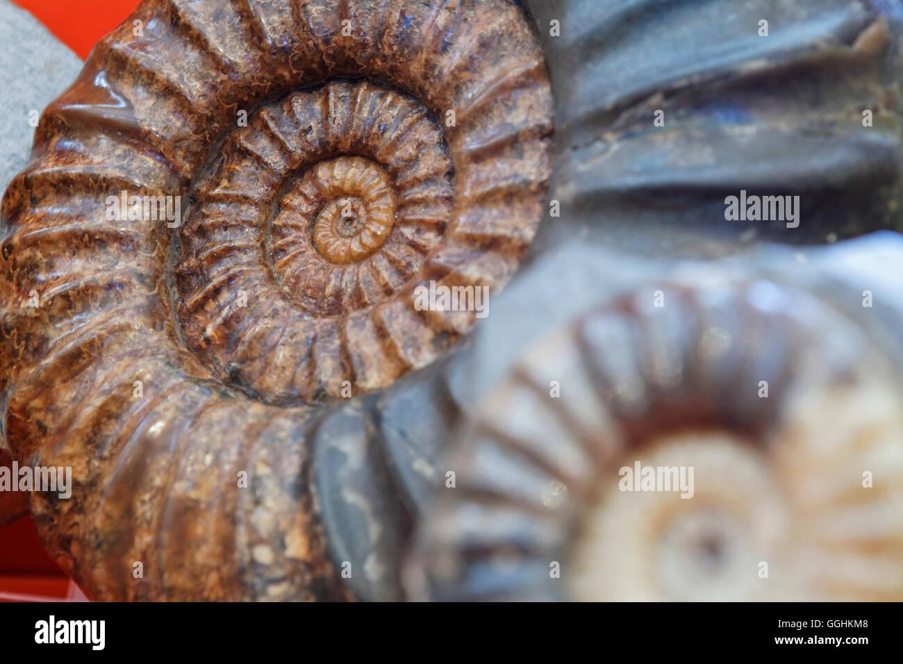 Musée des fossiles à Lyme Regis, dans le Dorset, Angleterre, Grande-Bretagne Photo Stock