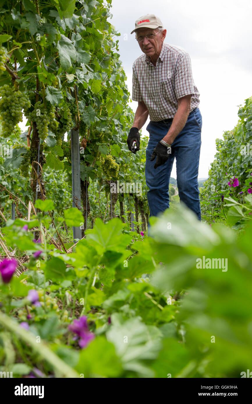 Vigneron Klaus Arnold de Weingut Wilhelm Arnold en raisins coupe Marsberg vignoble, Würzburg, près de Photo Stock