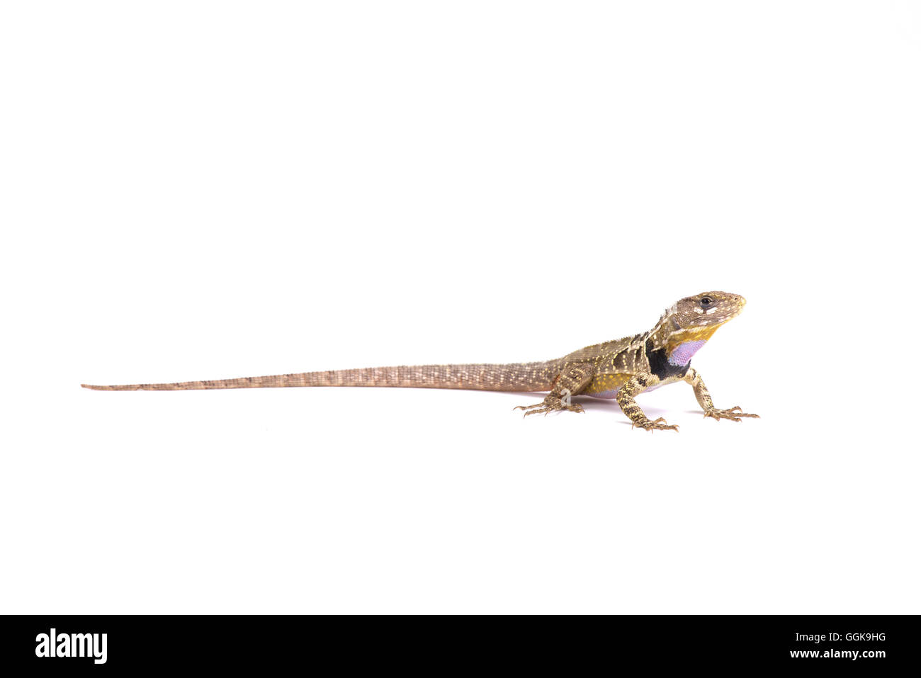 Lézard à gorge violet péruvienne (Stenocercus imitateur) Photo Stock