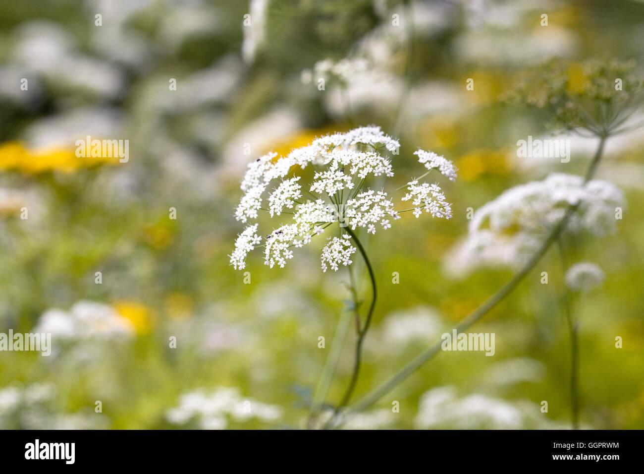 Ammi majus fleurs, Banque D'Images