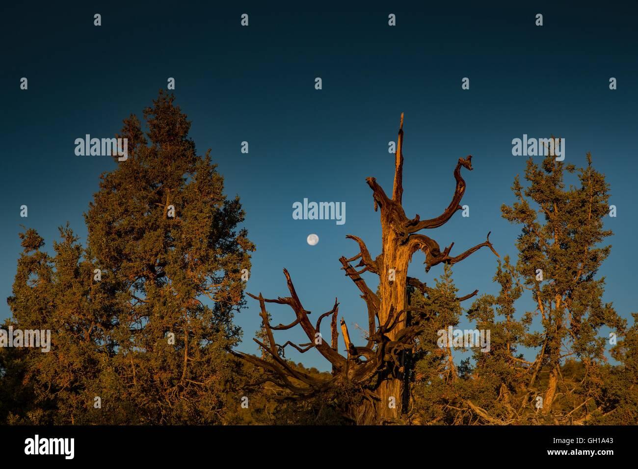 Jun 14, 2014 - les montagnes Blanches, Californie, États-Unis - l'moonsets comme le soleil se lève Photo Stock