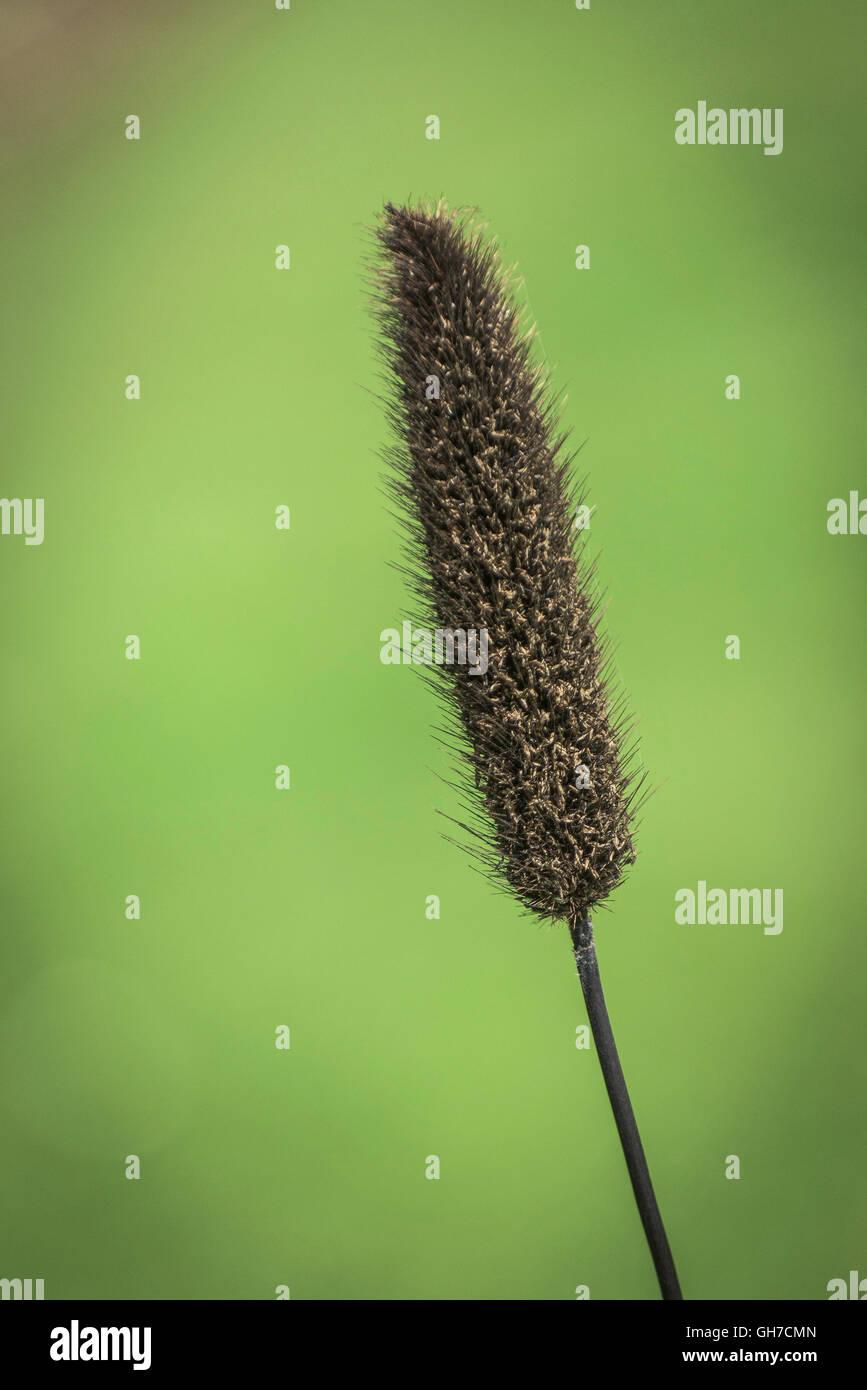 Millet ornemental. Pennisetum glaucum. Photo Stock