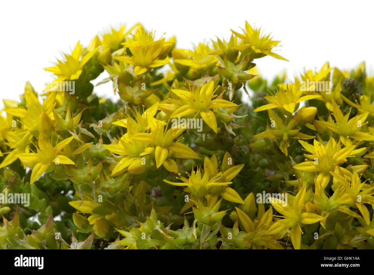 Floraison jaune Sedum acre au printemps, Close up Photo Stock