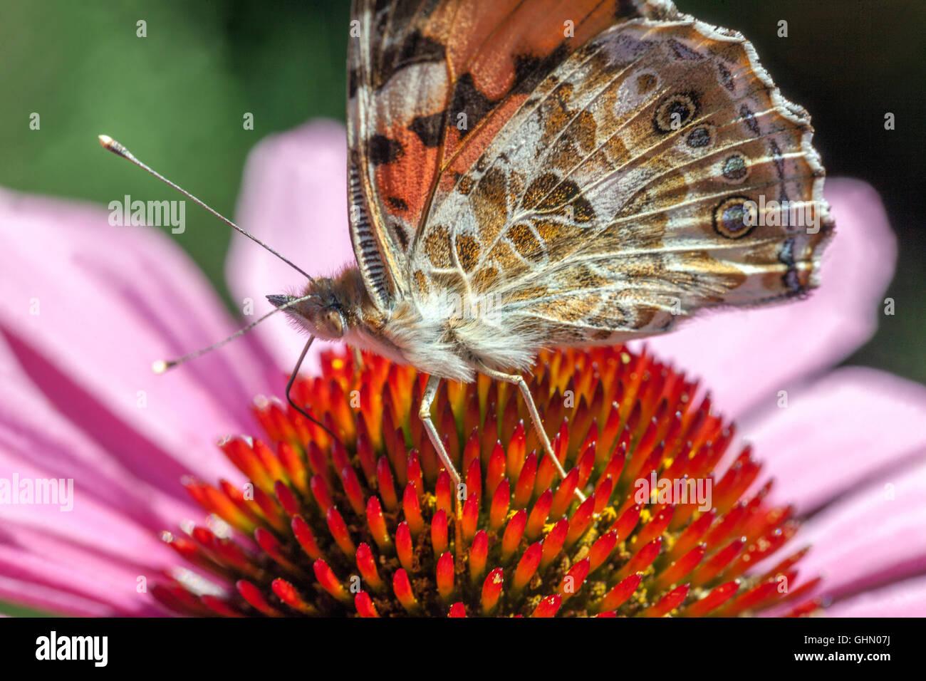 Echinacea papillon sur fleur gros plan nourrissant nectar peint dame Papillon Vanessa cardui sur conefellower Banque D'Images