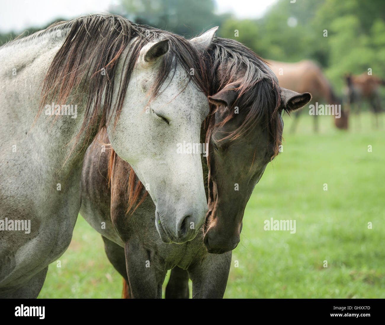 Juments Quarter Horse salue avec affection Photo Stock