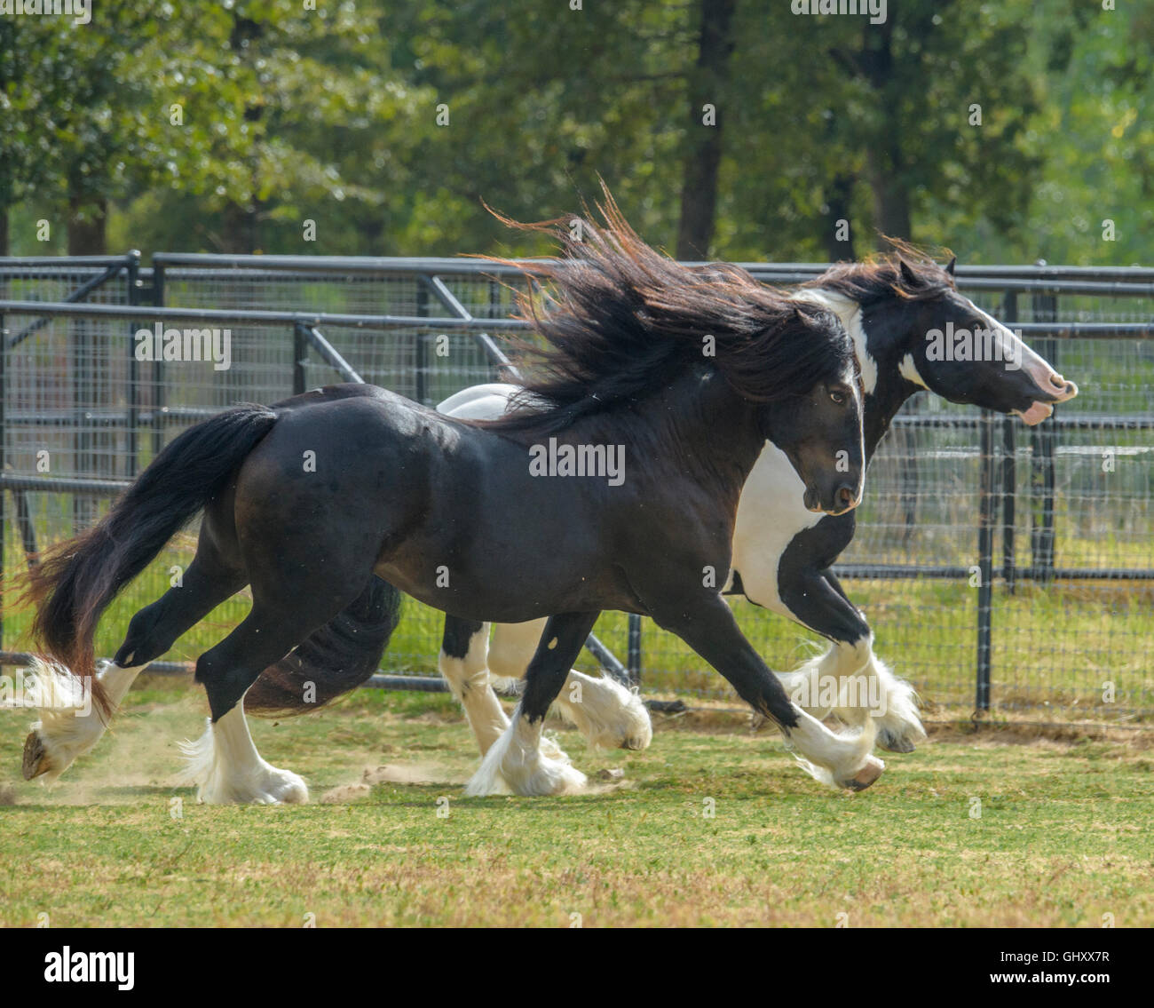 4 ans Gypsy Vanner Horse etalons rough house et jouer Photo Stock