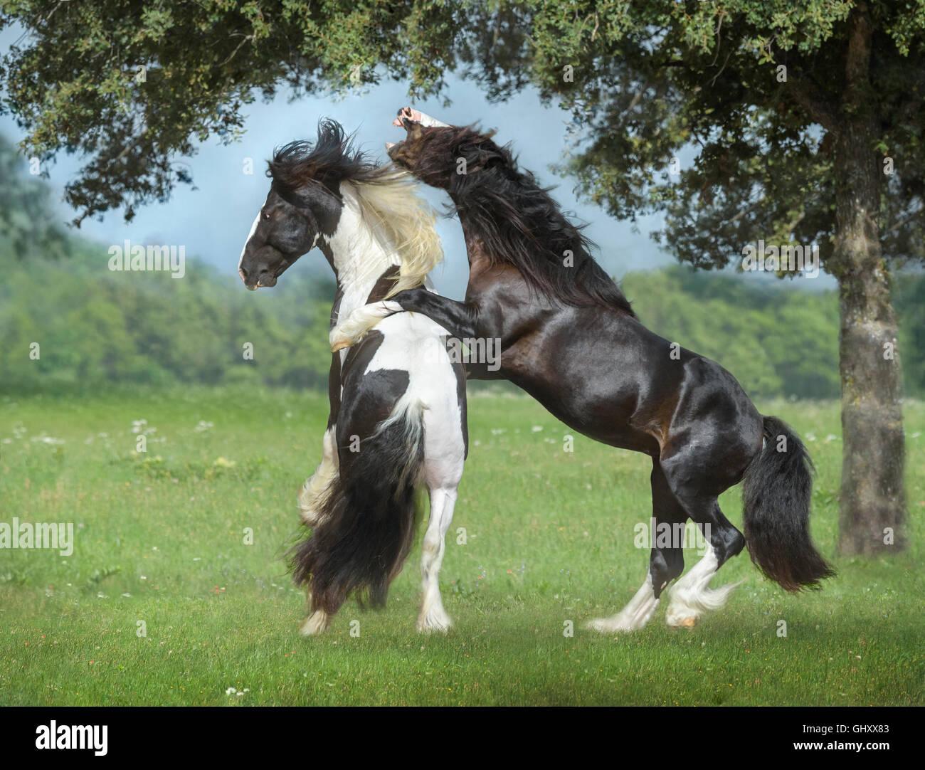 4 ans Gypsy Vanner Horse etalons roughouse et jouer Photo Stock