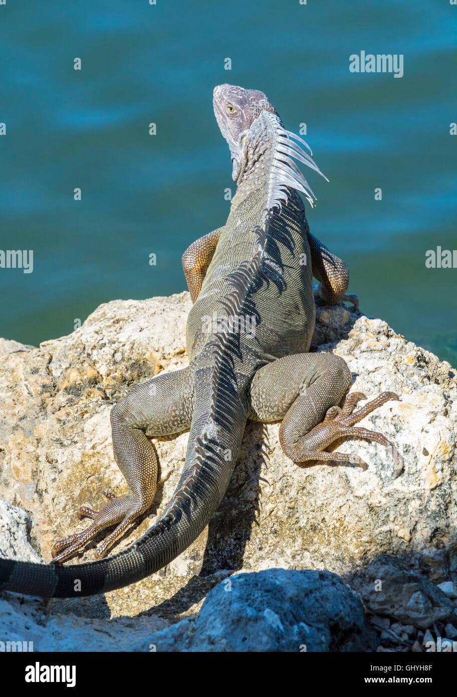 Florida Keys, Grassy Key, Dolphin Research Center, commun Iguane vert (Iguana iguana) Banque D'Images