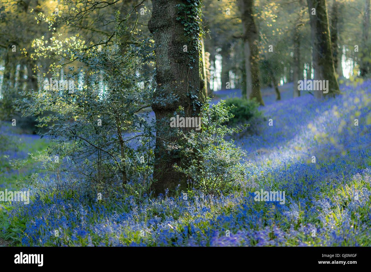 Jacinthes dans les bois près de Minterne Magna, Dorset, Angleterre Photo Stock