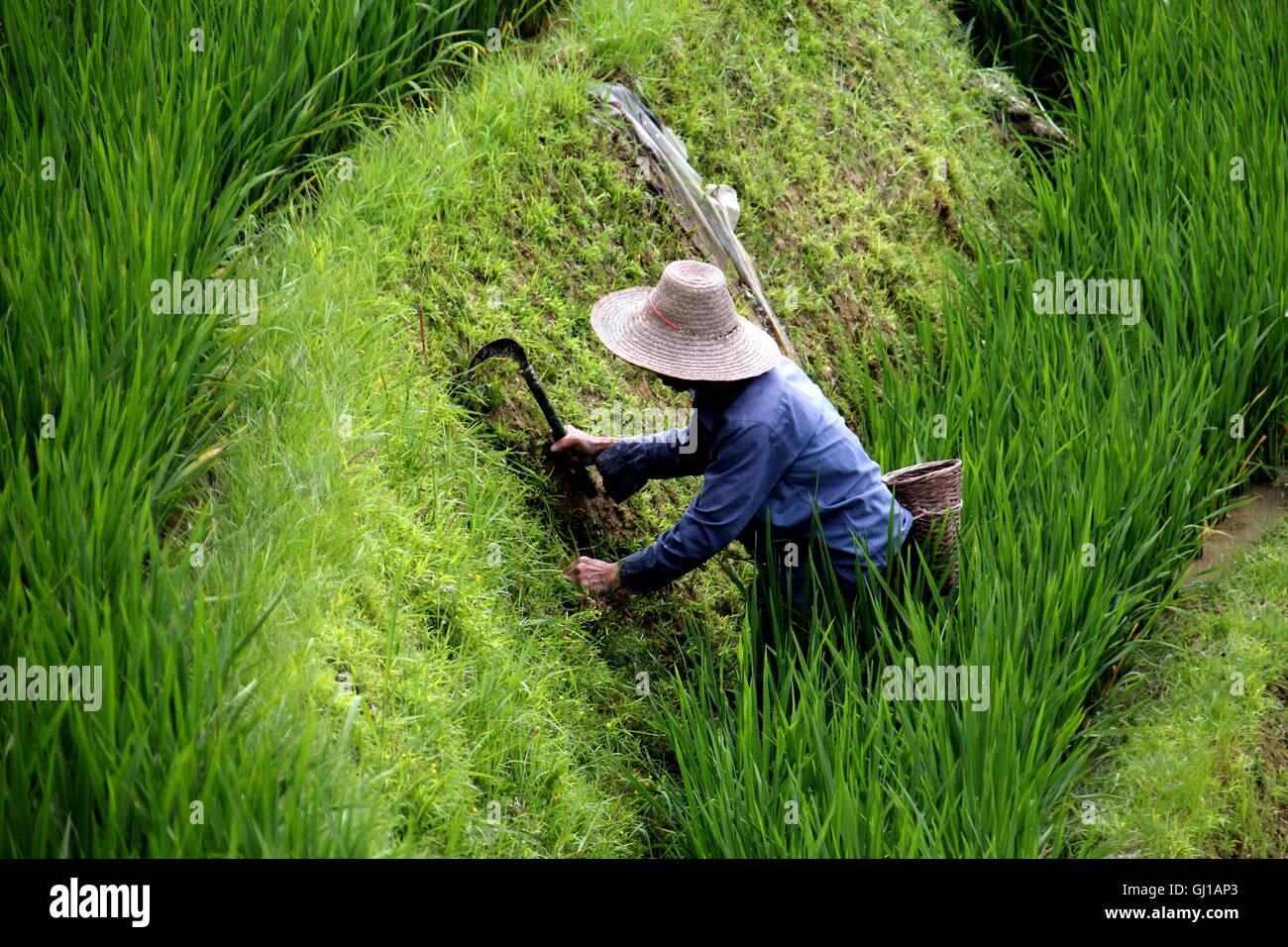 Un agriculteur travaillant dans les rizières de Ping'an, Guilin Chine Photo Stock