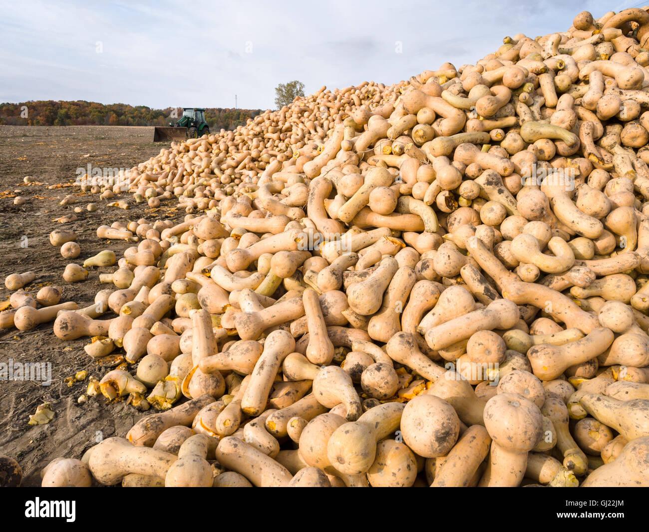 Courge récoltée. Un grand nombre de grande courge Butternut réunis en un gros tas dans le domaine Photo Stock