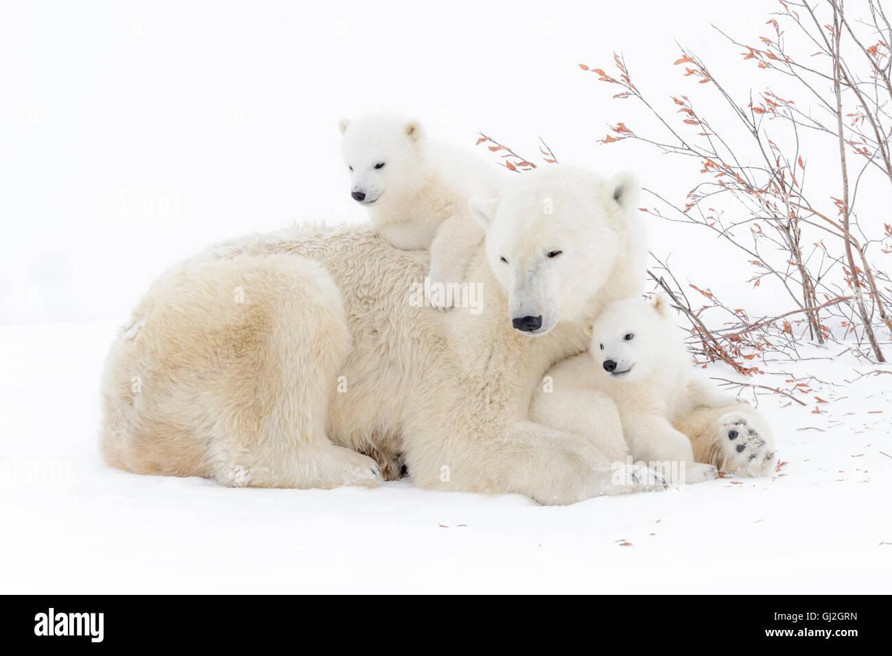 Mère de l'ours polaire (Ursus maritimus) couché avec deux oursons jouant, Parc National de Wapusk, Photo Stock