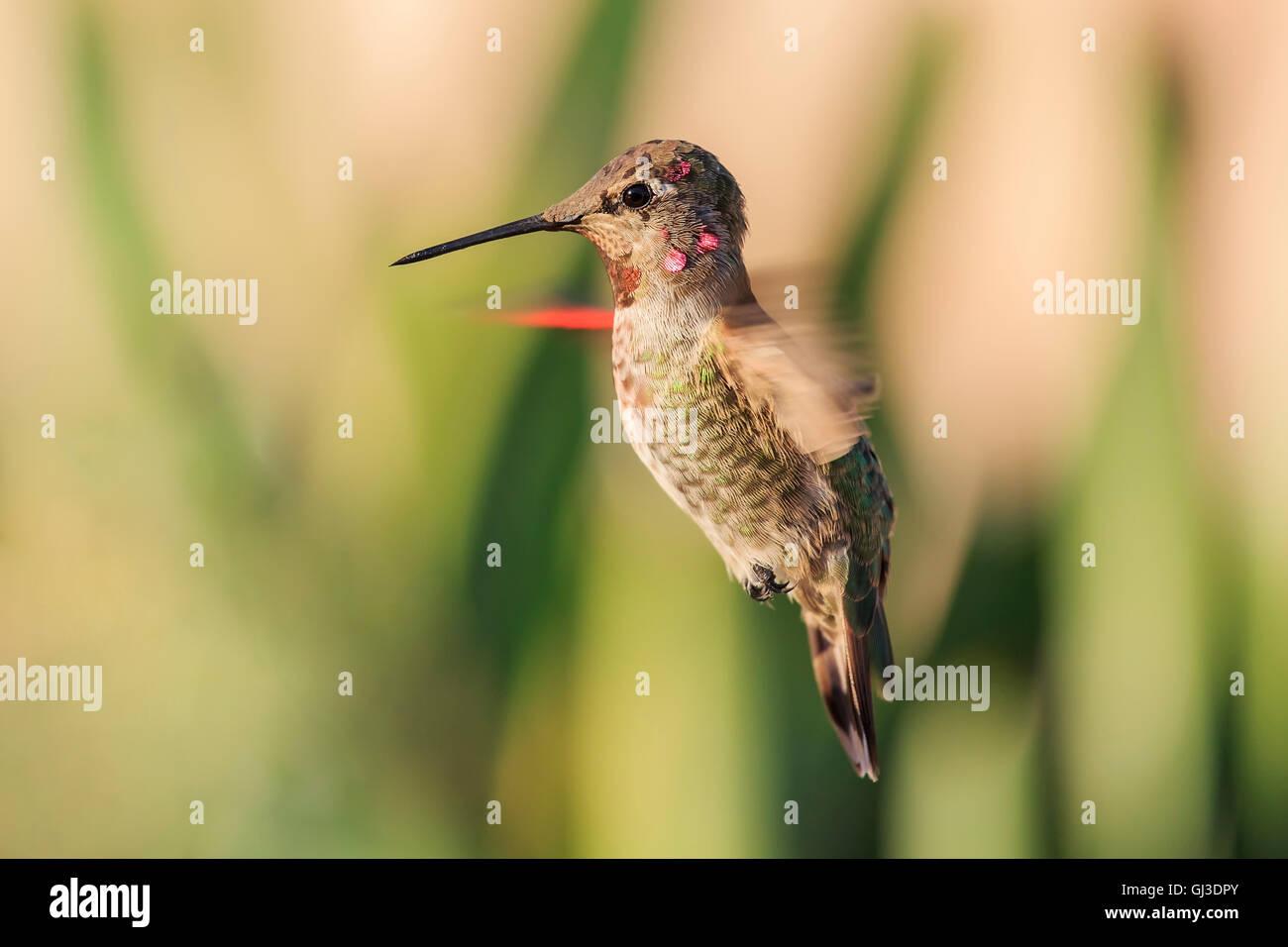 Vol mignon oiseau de ronflement avec la nature fond vert vu à Los Angeles Photo Stock