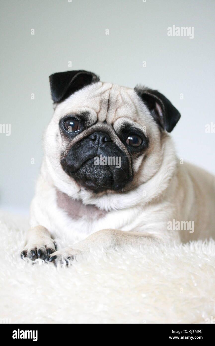 3 ans pug posing fauve dame sur un tapis en peau de mouton Photo Stock