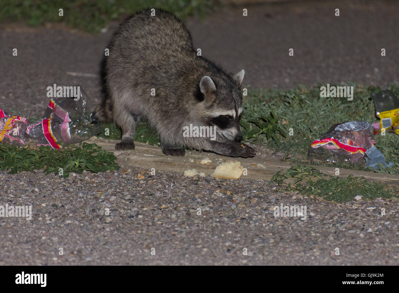 Le raton laveur (Procyon lotor), manger, corbeille. Elephant Butte State Park, New Mexico, USA. Photo Stock