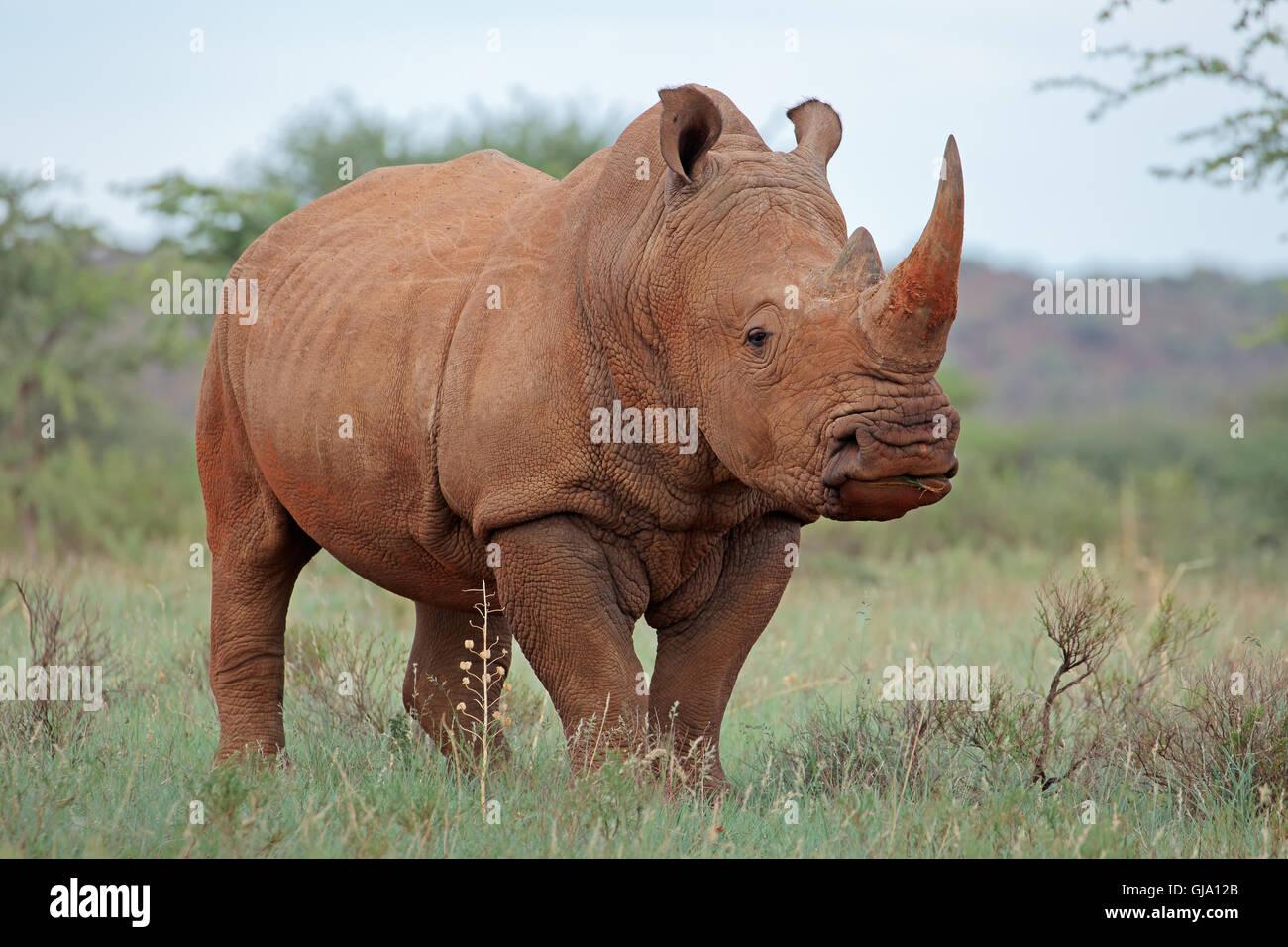 Un rhinocéros blanc (Ceratotherium simum) dans l'habitat naturel, l'Afrique du Sud Photo Stock
