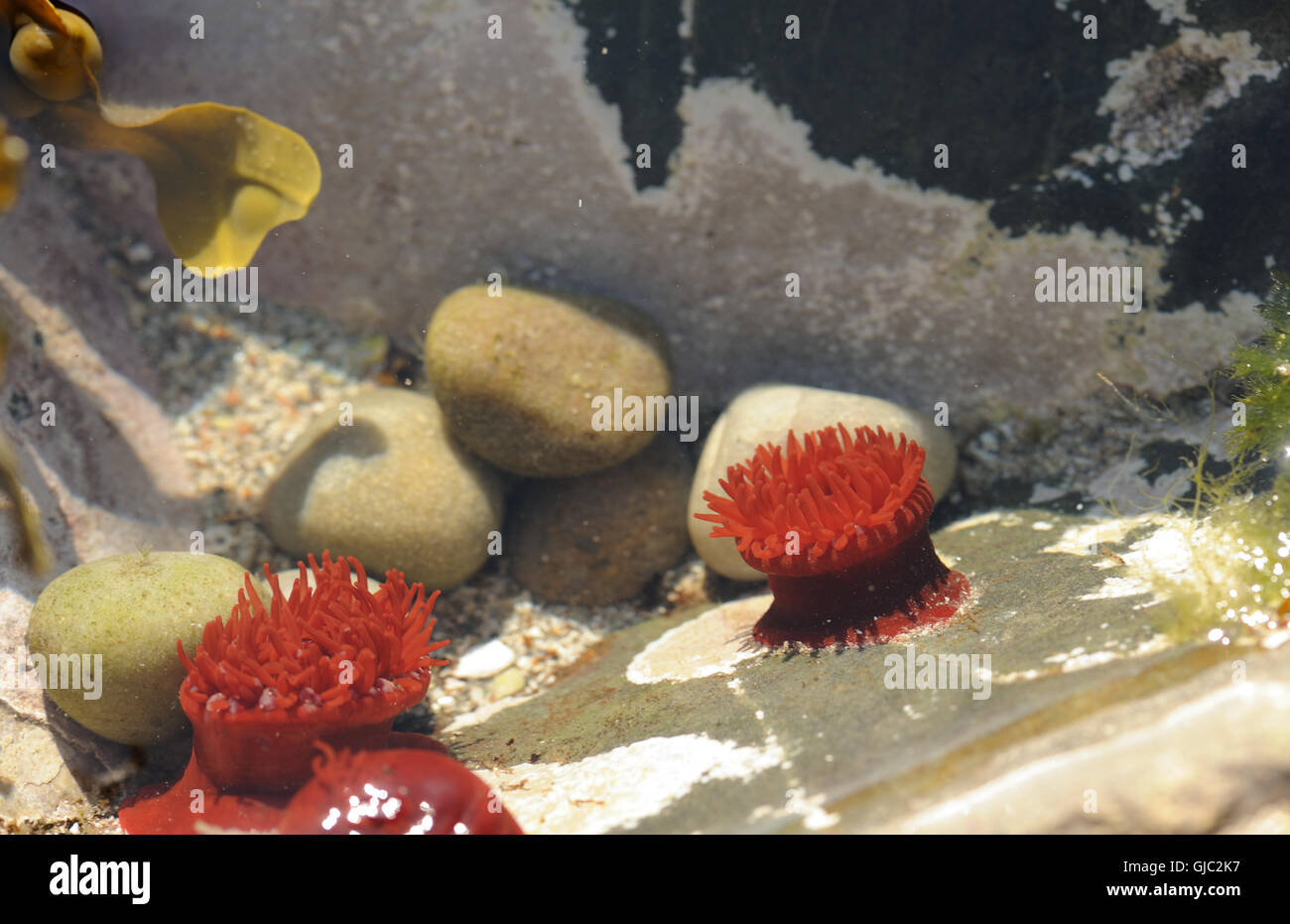 Les anémones de mer dans une roche couverte. Colonsay, Hébrides intérieures, Argyll, Scotland, UK. Photo Stock