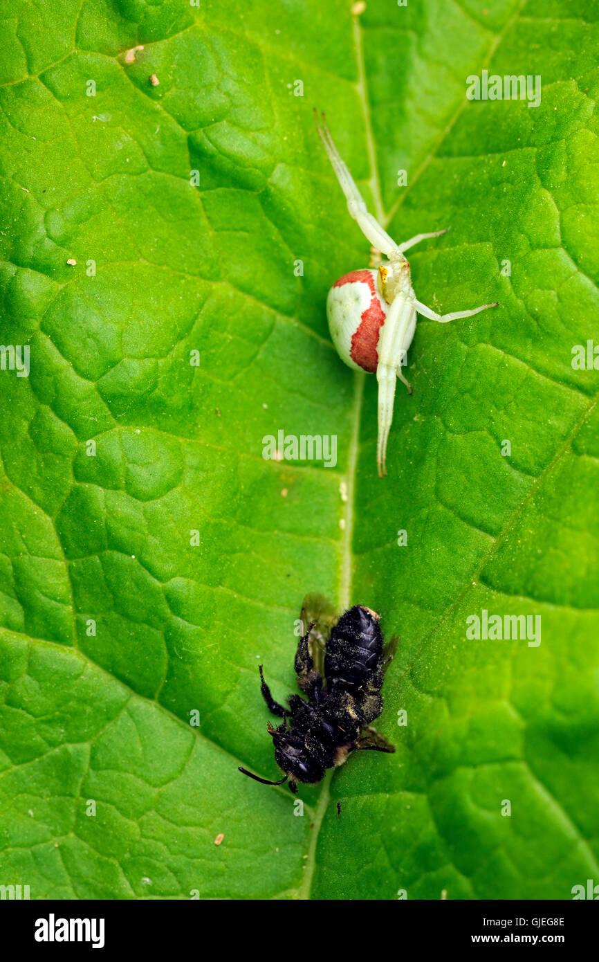 Houghton (Misumena vatia) avec une abeille, Grand Sudbury, Ontario, Canada Banque D'Images