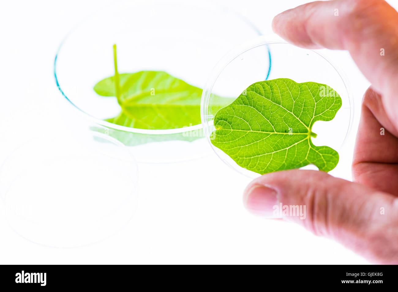 Recherche de la photosynthèse des plantes en laboratoire Photo Stock