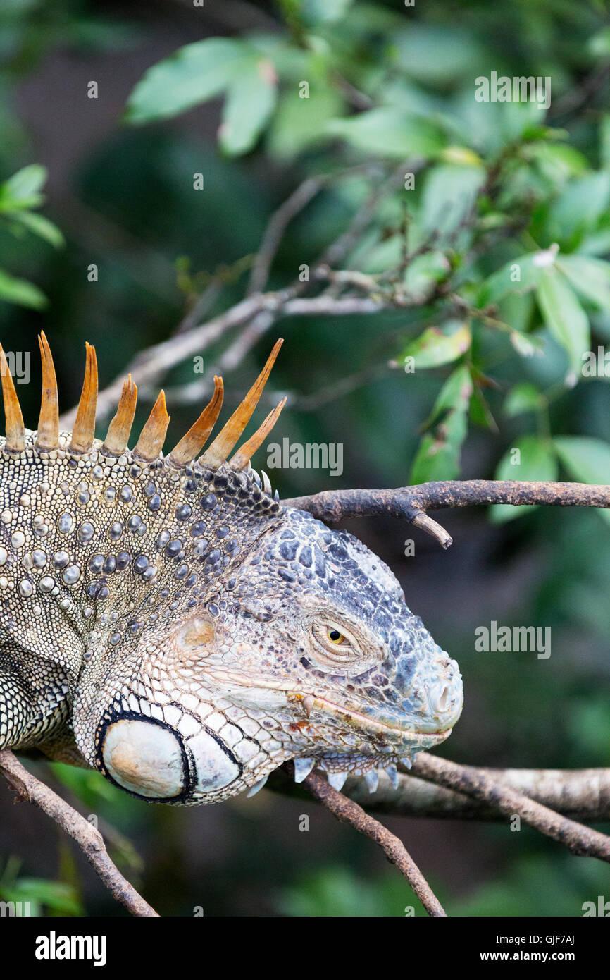 Close up d'une politique ou d'iguane vert (Iguana iguana) dans la forêt tropicale, l'Arenal, Costa Rica, Amérique Banque D'Images