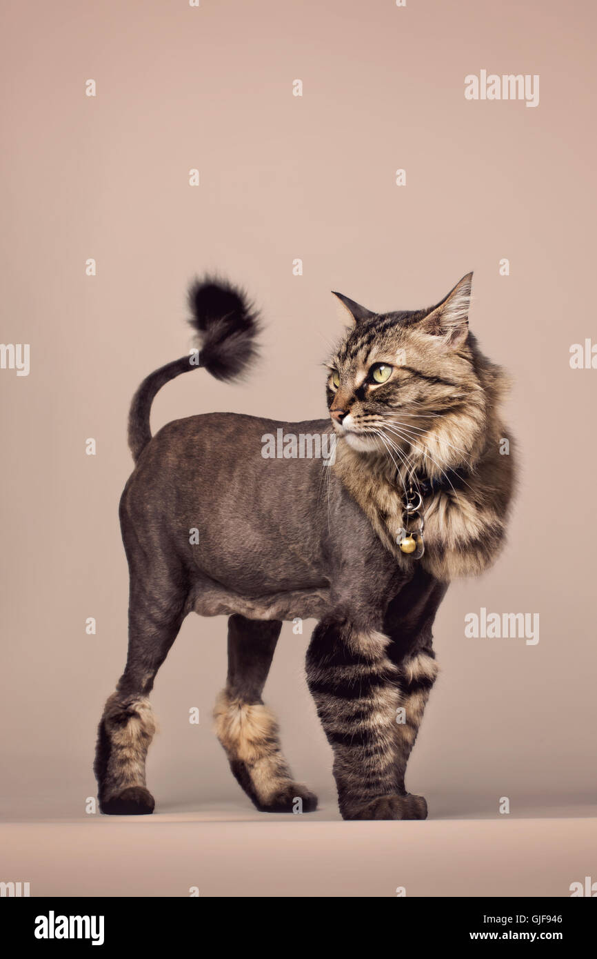 Chat tigré avec dingo queue de lion sautant hors de l'image sur un fond blanc. Banque D'Images