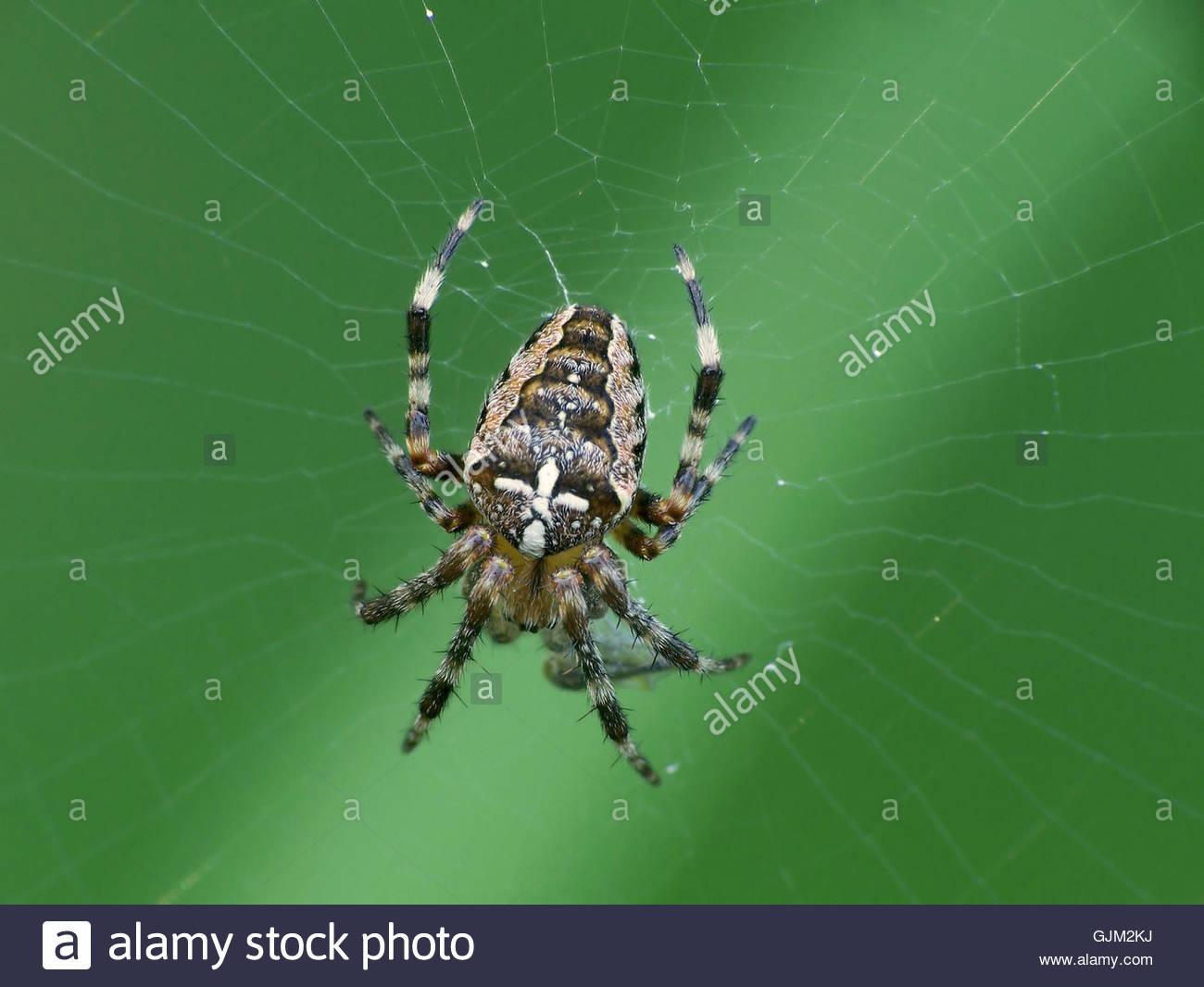 Booty proie araignée Photo Stock