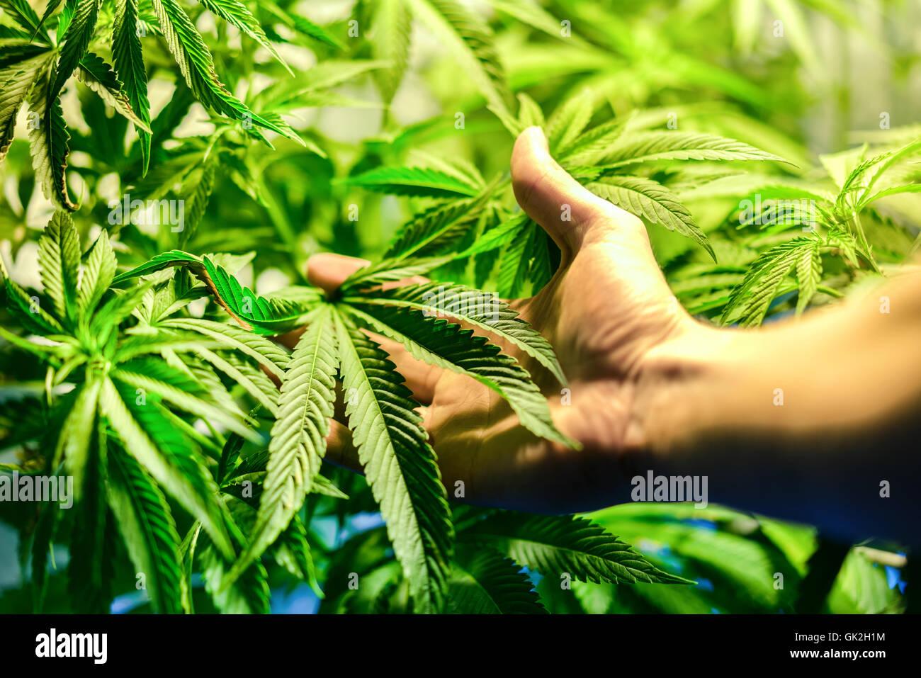 Plantation de cannabis en intérieur avec une main à l\'avant-plan ...