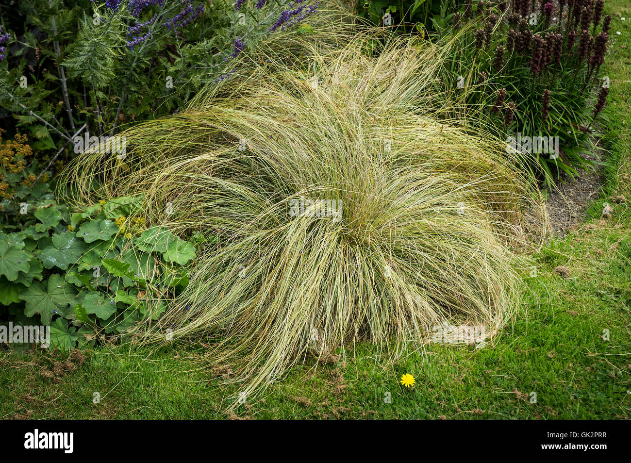 Carex Frosted Curls. Photo Stock