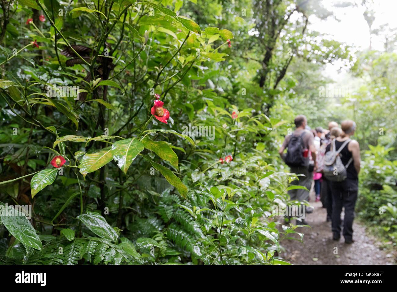 Un groupe de visiteurs de marcher dans la forêt de nuages, Monteverde, Costa Rica, Amérique Centrale Photo Stock