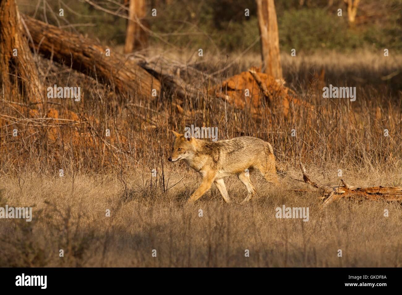Le chacal doré (Canis aureus, le parc national de Ranthambore, Rajasthan, Inde, Asie Banque D'Images