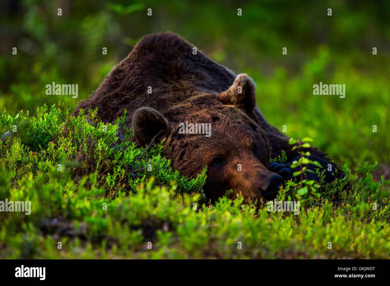 Un portrait d'un ours brun, en Finlande. Photo Stock
