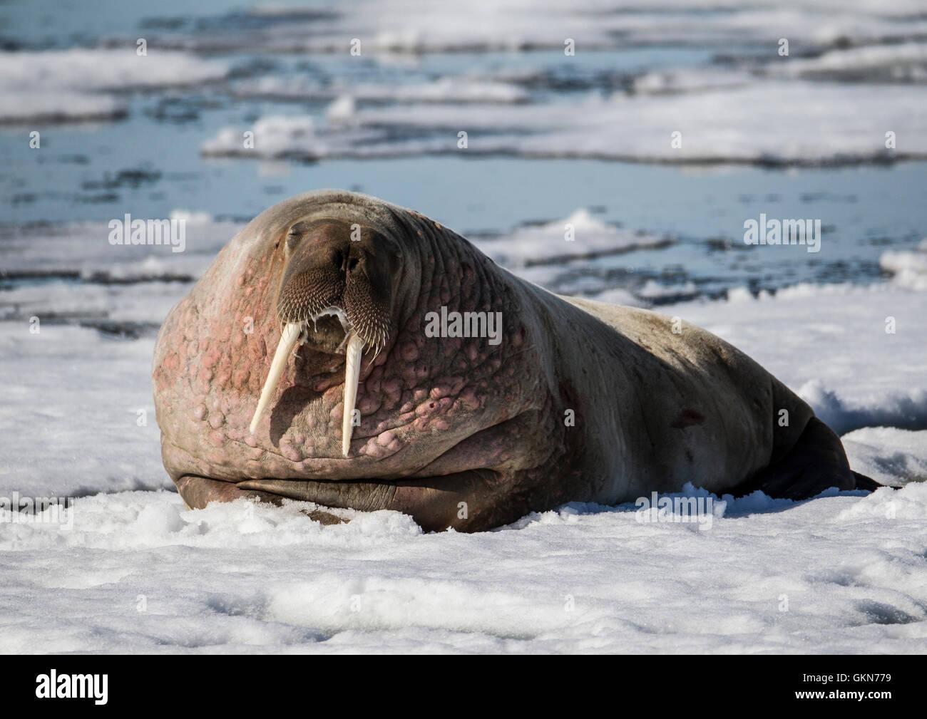 Sur la neige, des morses, Svalbard, Arctique norvégien Photo Stock