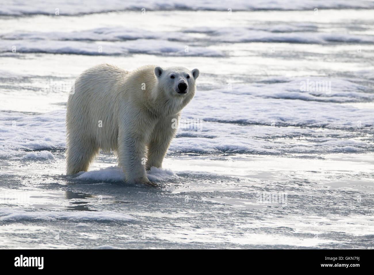 L'ours blanc, Ursus maritimus, promenades à travers la glace, Svalbard, de l'Arctique. Banque D'Images
