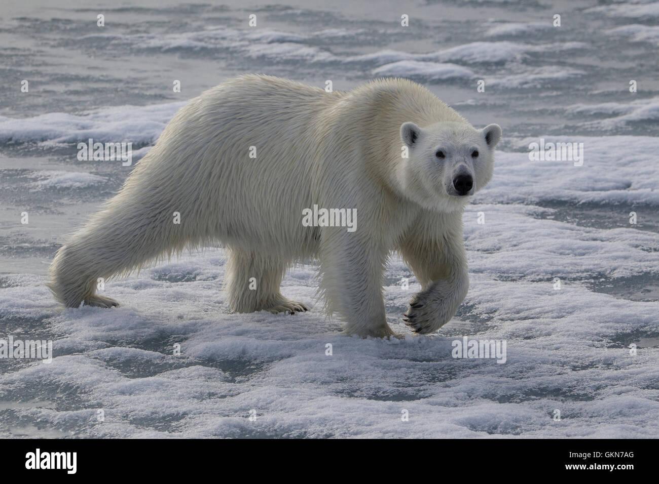 L'ours blanc, Ursus maritimus, promenades à travers la glace, Svalbard, de l'Arctique. Photo Stock