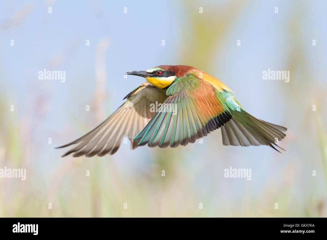 Guêpier d'Europe (Merops apiaster) en vol au-dessus d'une prairie Banque D'Images