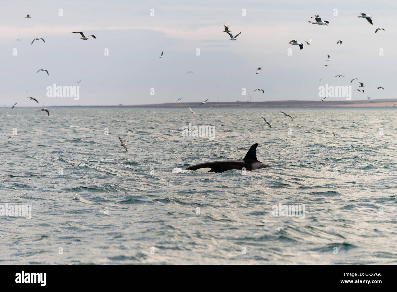 Killer whale, ('orca Orcinus orca') près de Grundarfjörður, une ville dans le nord de la péninsule de Snæfellsnes, à l'ouest de l'Islande Banque D'Images