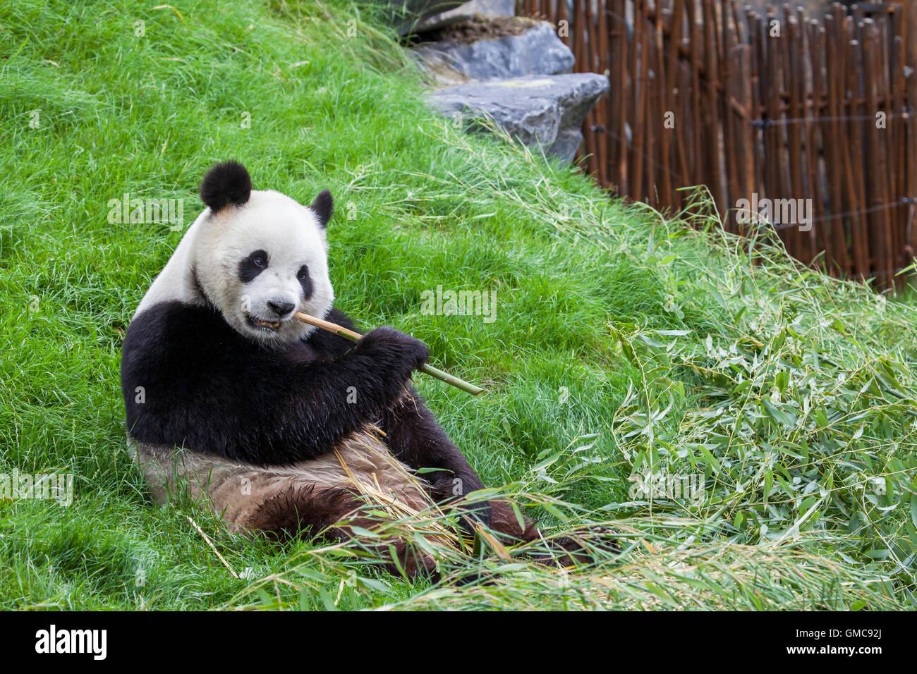 Panda est assis sur le sol et se nourrit de bambou dans un zoo Photo Stock